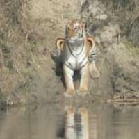 gazing_tiger_thumb