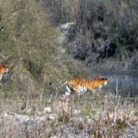 pair_tiger