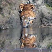 thirsty_tiger